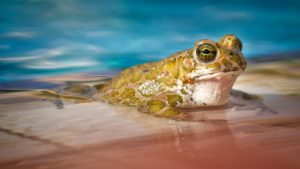 frog in pool | how to avoid a green pool | Allchlor